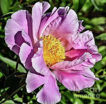 Cindy Treger - Shades Of Pink Bowl Of Beauty Peony