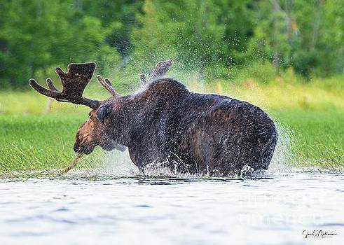 Shake It - Bull Moose - Allagash Maine by Jan Mulherin
