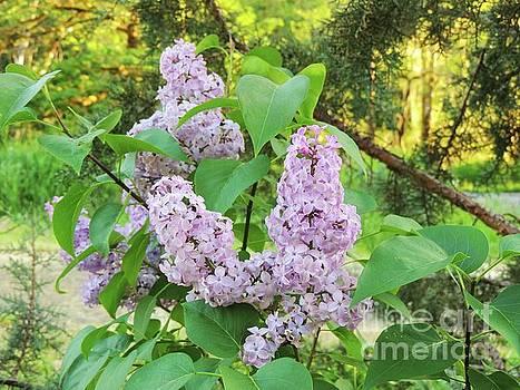 Shaniko Lilacs by Julie Rauscher