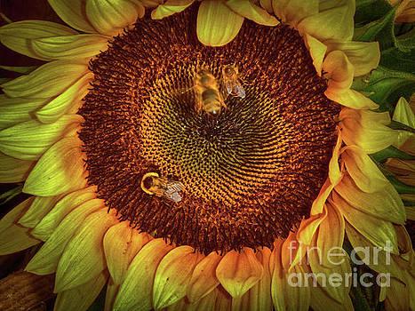 Sharing the Sunflower by Judy Hall-Folde
