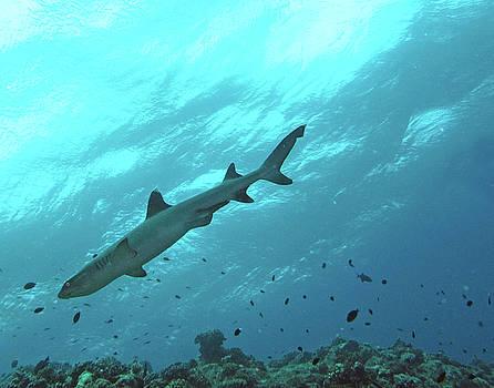 Susan Burger - Shark Above
