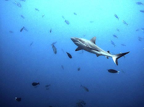 Susan Burger - Shark Amidst Fish