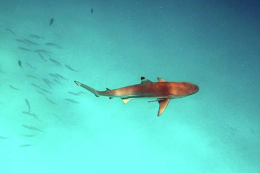 Susan Burger - Shark Below