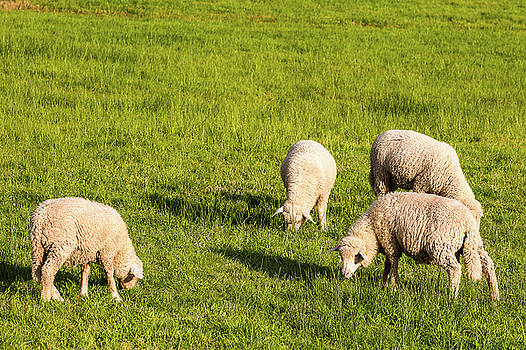 Sheep in a meadow by Paul MAURICE