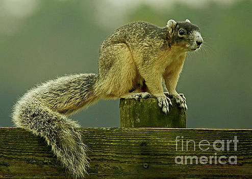 Sherman's Fox Squirrel by Larry Nieland