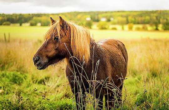 David Morefield - Shetland Pony