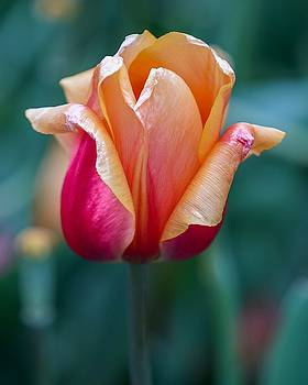 Shimmering Tulip by Susan Rydberg