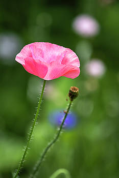 Shirley Poppy 2019-1 by Thomas Young