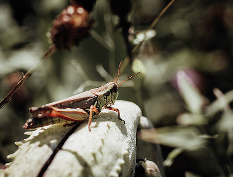 Shy Grasshopper by Johnathan Erickson