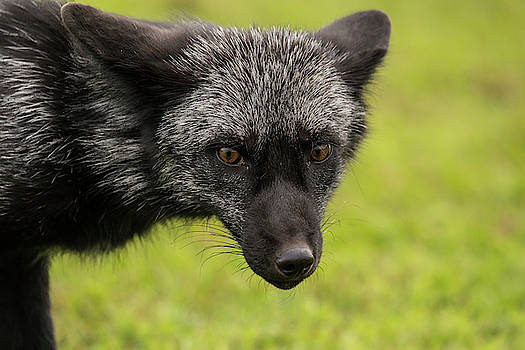Silver Colored Red Fox by CJ Park