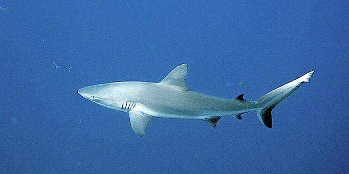 Susan Burger - Silver Shark
