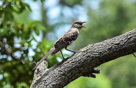 Sing Me A Song Mockingbird by William Tasker