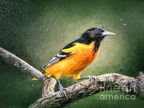 Sir Baltimore Oriole by Tina LeCour