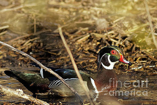 Sir Wood Duck by Natural Focal Point Photography