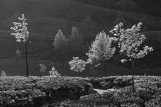 SKN 9162 Glowing Trees. B/W by Sunil Kapadia