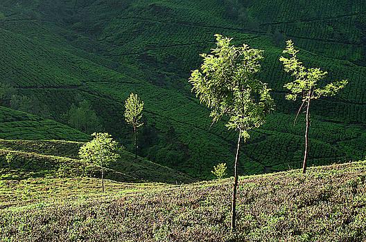 SKN 9166 Portrait of Trees. Color by Sunil Kapadia