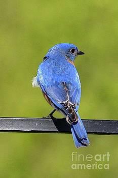 Cindy Treger - Sky Blue Male Eastern Bluebird