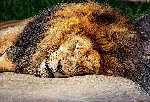 Sleeping Lion by Anthony Jones