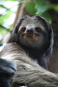 Sloth Eating Leaves  by Deborah Kinisky