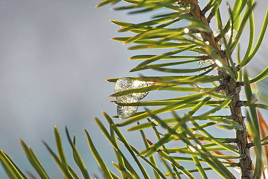 Small icicle on a pine twig by Intensivelight
