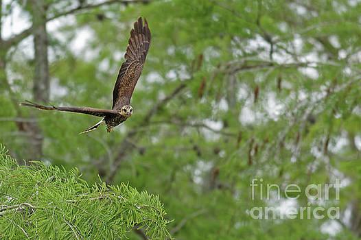 Snail Kite Takeoff by Natural Focal Point Photography