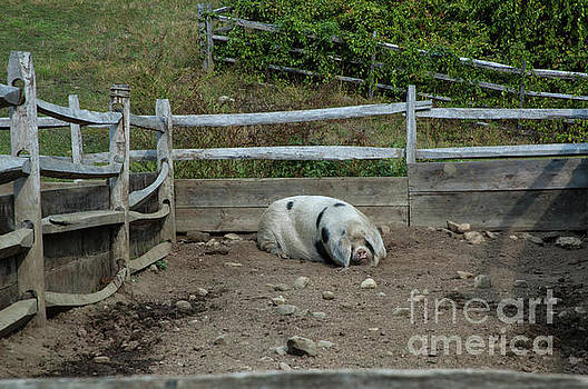 Snoozing Hog by Ruth H Curtis