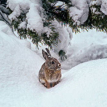 Snow Bunny by Maria Coulson