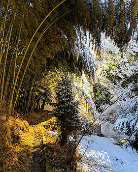 Snow coated Bamboo Forest by Nate Richards