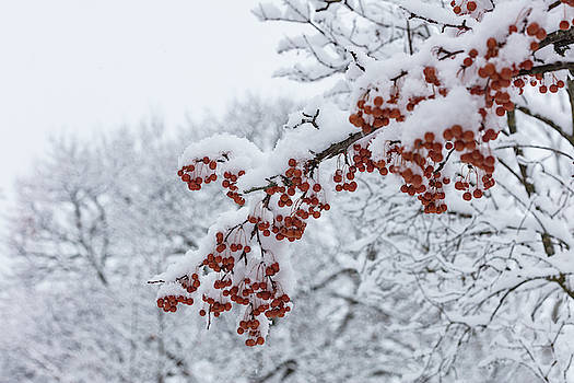 Snow Covered Branches of Red Berries by Susan Schmidt