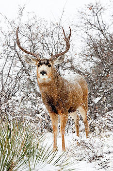 Steve Krull - Snow Covered Buck