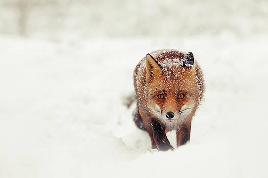 Snow Fox Series - A Fox in the Snow Encounter by Roeselien Raimond