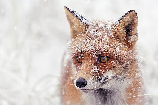 Snow Fox Series -Foxy Face by Roeselien Raimond