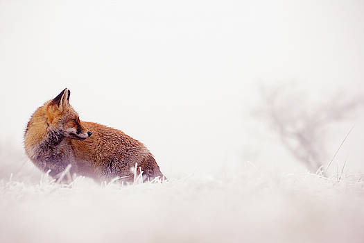 Snow Fox Series - Looking Forward to the New Year by Roeselien Raimond