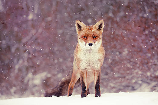 Snow Fox Series - Mrs. self assured, not insecure by Roeselien Raimond