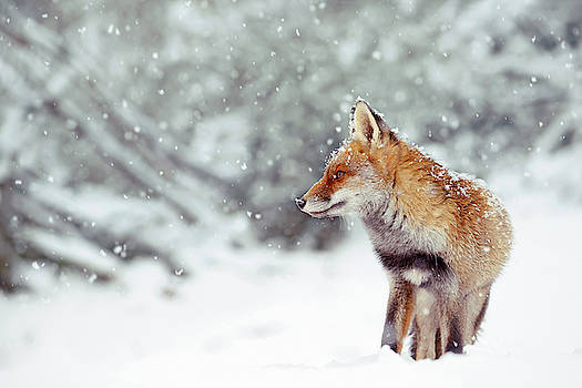 Snow Fox Series -  Red Fox in a Fairytale Forest by Roeselien Raimond