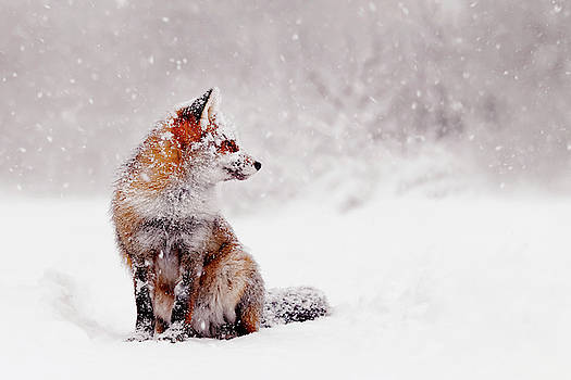 Snow Fox Series - Red Fox Sitting in a snow world by Roeselien Raimond