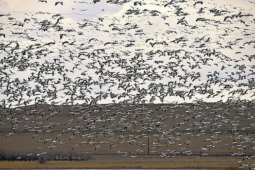 Snow Geese At Freezout 2019 by Kae Cheatham