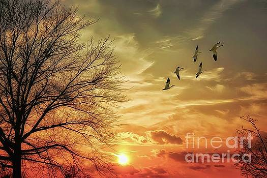 Snow Geese At Sundown by Tom York Images