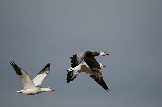 Snow Geese by James Petersen