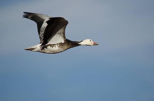 Snow Goose by James Petersen