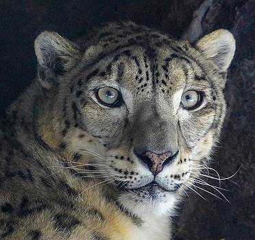 Snow Leopard by Susan Rydberg