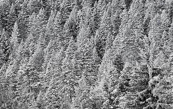 Snow on Evergreens by Tom Gresham