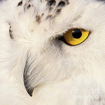 Snow Owl Eye by Eyeshine Photography