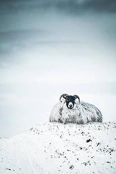 Snow Sheep by Evelina Kremsdorf