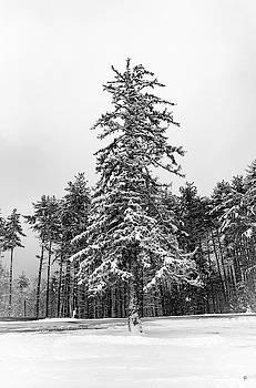 Snow Tree by Tom Romeo