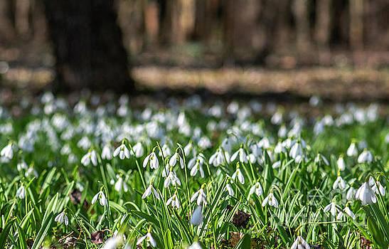 Snowdrops Field by Odon Czintos