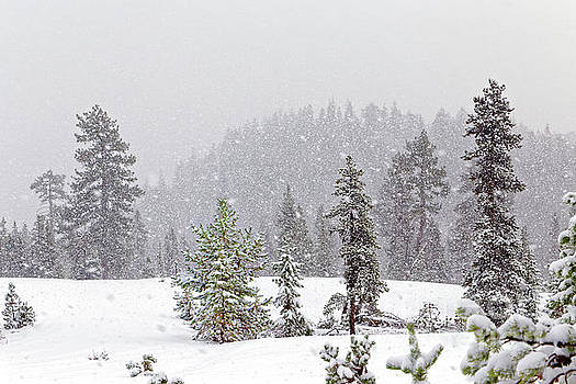 Snowfall falling snow snowy winter hill conifer trees storm fore by Robert C Paulson Jr