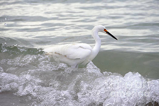 Snowy Egret in the Surf by Catherine Sherman