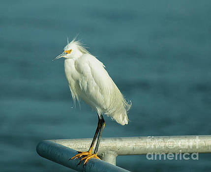 Snowy Egret On The Railing  by Sharon Mayhak