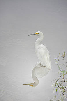 Snowy Egret Portrait and Reflection by Mitch Spence
